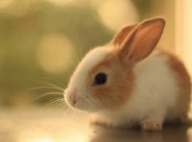 โรคฝีในกระต่าย_หมอโอ-1 copy