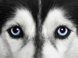 corneal-disease-inherited-dogs